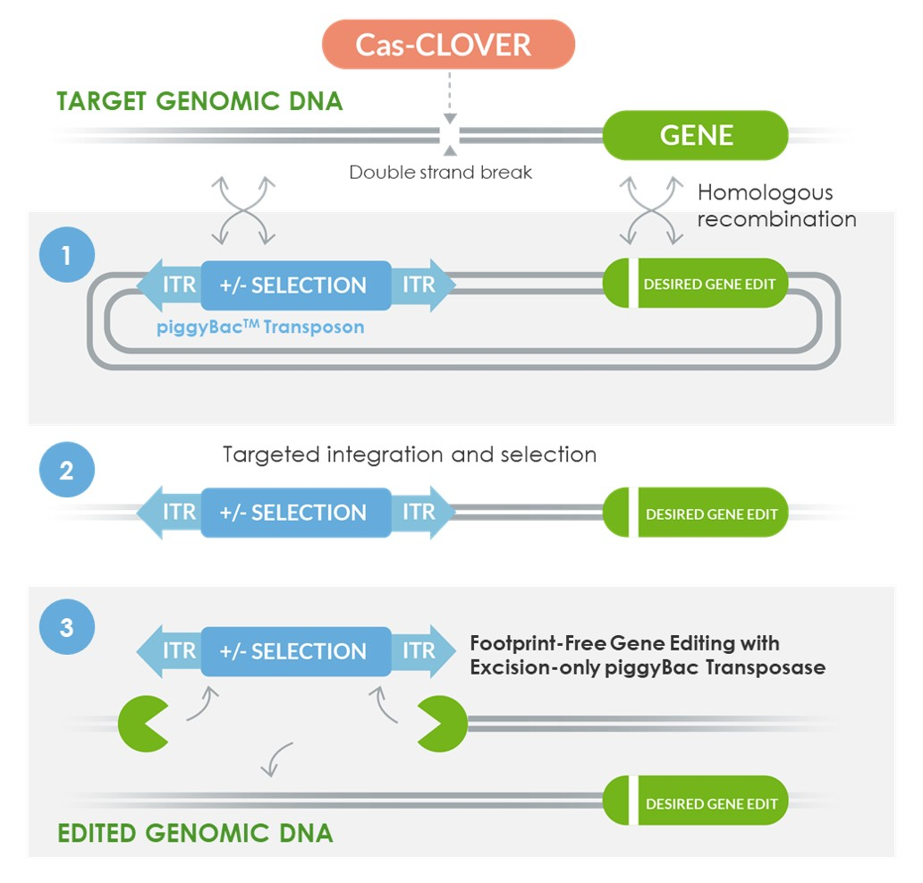 Footprint-free gene editing image jpeg