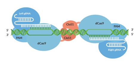 Figure 2: Cas-CLOVER gene editing system