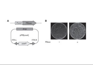 flow charts and images about insertional mutagenesis (500 x 350)
