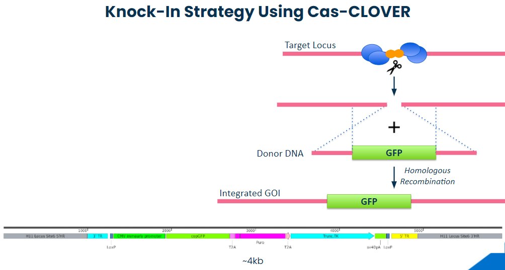 diagram, knock-in strategy using Cas-CLOVER