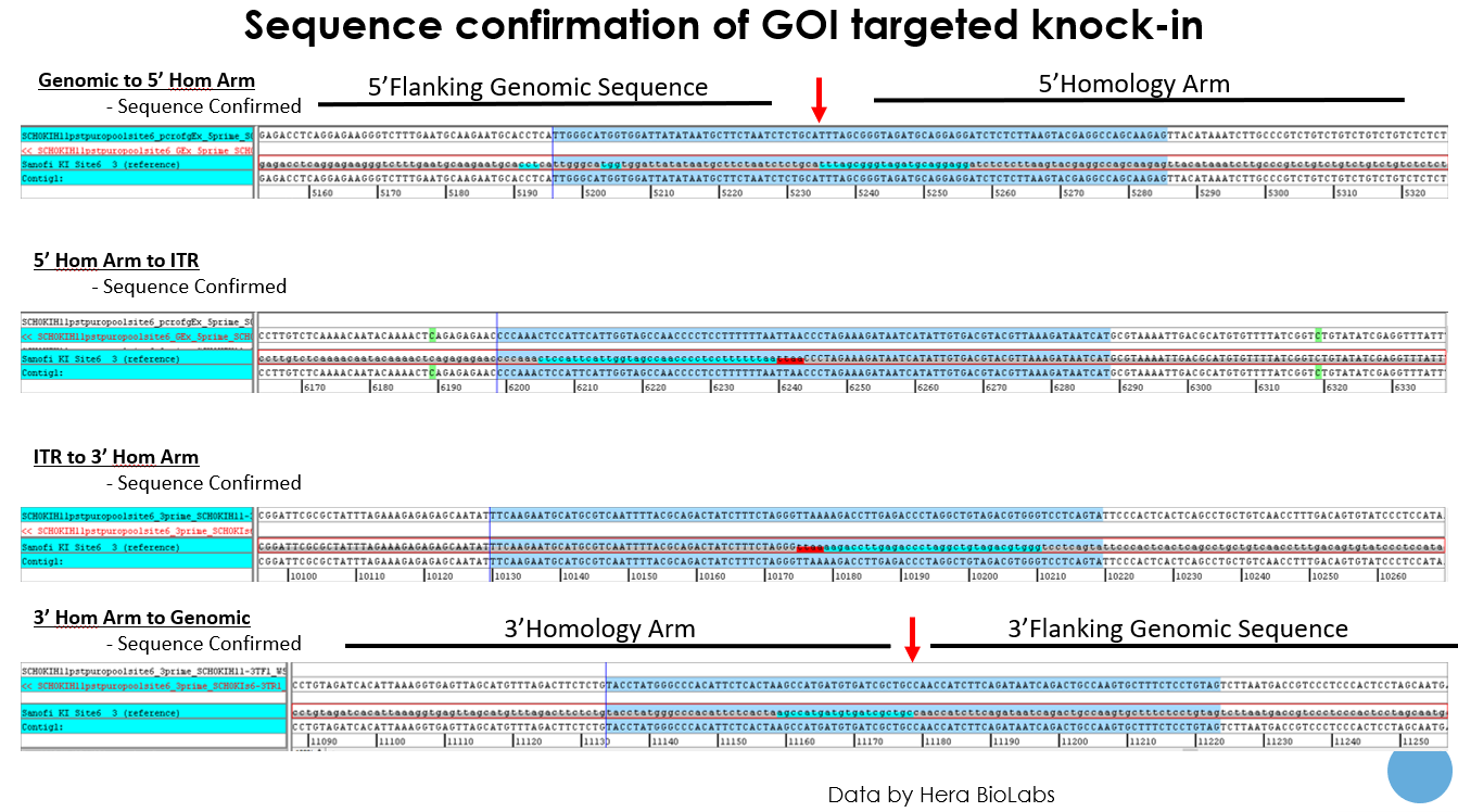 sequence confirmation of GOI targeted knock-in