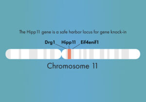 """""""The Hipp11 gene is a safe harbor locus for gene knock-in"""" (500 x 350)"""