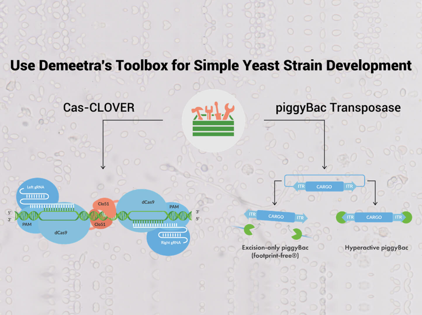 """a chart explaining Cas-CLOVER and piggyBac Transposase titled """"Use Demeetra's Toolbox for Simple Yeast Strain Development"""" (1370 x 1024)"""