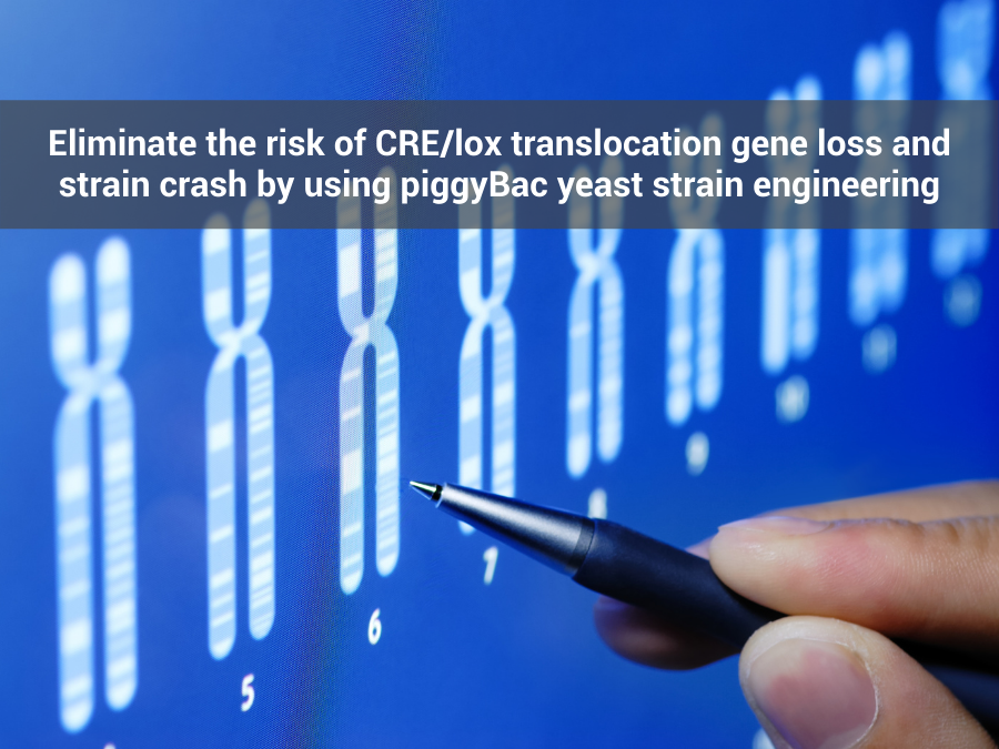 Eliminate The Risk Of CRE/Lox Translocation Gene Loss And Strain Crash By Using piggyBac Yeast Strain Engineering