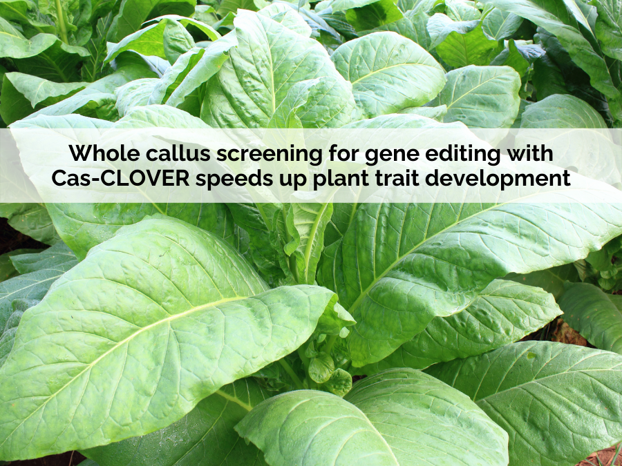 """the text """"Whole Callus Screening For Gene Editing With Cas-CLOVER Speeds Up Plant Trait Development"""" on a plant background"""